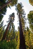 USA  California  Yosemite National Park  Mariposa Grove of Giant Sequoia