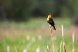 Yellow Headed Blackbird in the National Bison Range  Montana