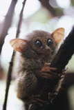 Wild Tarsier Sitting on Tree  N Sulawesi  Indonesia