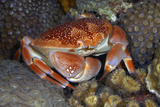Batwing Coral Crab Curacao  Netherlands Antilles
