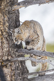 Wyoming  Yellowstone National Park  Bobcat Watching as a Coyote Eats Stolen Duck