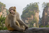 Rhesus Macaque  Hallelujah Mountains  Wulingyuan District  China