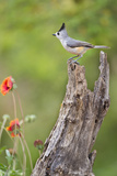 Starr County  Texas Black Crested Titmouse Perched