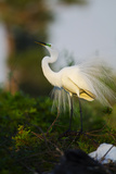 Florida  Venice  Audubon Sanctuary  Common Egret Stretch Performance
