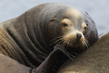 California Sea Lion Resting
