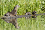Wyoming  Yellowstone National Park  Northern River Otter and Pups on Log in Lake