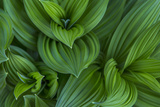 Corn Lily Aka False Hellebore in Glacier National Park  Montana  USA