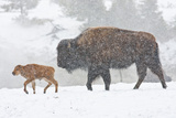 Wyoming  Yellowstone National Park  Bison and Newborn Calf Walking in Snowstorm