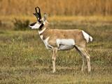 Pronghorn  Antelope Flats  Grand Teton National Park  Wyoming  USA
