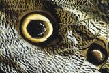 Eye Spot on a Giant Owl Butterfly La Selva Reserve  Ecuador