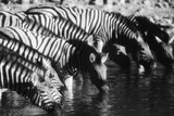 Namibia  Etosha National Park  Burchells Zebra Drinking at Waterhole