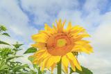 Sunflowers  Community Garden  Moses Lake  Wa  USA
