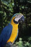 Blue and Gold Macaw  a Talking Pet Bird Big Pine Key  Florida