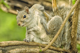 Close Up of an Eastern Gray Squirrel Scratching Itself on Branch