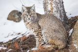 Wyoming  Yellowstone National Park  Bobcat Sitting under Tree