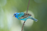 North America  USA  Florida  Immokalee  Indigo Bunting Perched on Wire