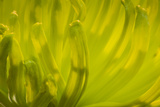 Close Up of Backlit Chrysanthemum Flower
