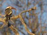 Red Billed Hornbill  Tockus Leucomelas  Bushveld  Namibia
