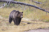 Wyoming  Yellowstone National Park  Grizzly Bear