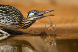 Starr County  Texas Greater Roadrunner Drinking at Pond