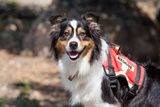 Australian Shepherd Search and Rescue Dog
