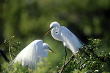 Florida  Venice  Audubon Sanctuary  Common Egret in Breeding Plumage