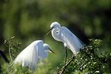 Florida  Venice  Audubon Sanctuary  Common Egret in Breeding Plumage