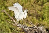 Florida  Venice  Audubon Sanctuary  Common Egret Wings Open at Nest