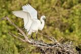 Florida  Venice  Audubon Sanctuary  Common Egret Wings Open at Nest