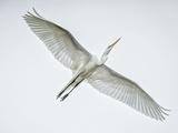 Alligator Zoo  St Augustine  Florida Great Egret in Flight