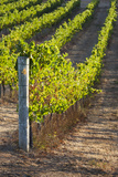 Southwest Australia  Margaret River Wine Region  Vineyard