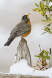 Wichita Falls  Texas American Robin Searching for Berries
