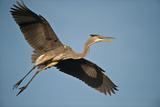 Florida  Venice  Great Blue Heron Flying Wings Wide Calling