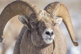 USA  Wyoming  National Elk Refuge  Bighorn Sheep Ram Head Shot