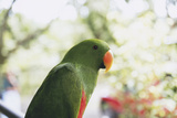 Indonesia  Micronesia  View of Eclectus Parrot