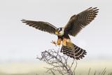 Laguna Atascosa Nwr  Texas Aplomado Falcon Landing on Yucca