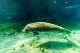 Juvenile Manatee Swimming in Clear Water in Crystal River  Florida