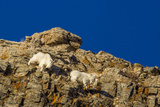 Billy Mountain Goats in Winter Coat in Glacier National Park  Montana  USA