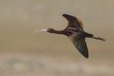 White Faced Ibis in Flight
