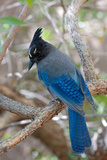 Stellers Jay  Cyanocitta Stelleri  Arizona