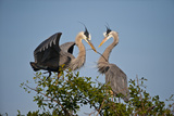 Florida  Venice  Great Blue Heron  Courting Stick Transfer Ceremony