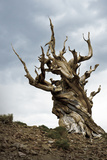California  Ancient Bristlecone Pine  Shulman Grove