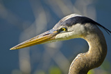 Florida  Venice  Great Blue Heron  Portrait