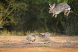Starr County  Texas Eastern Cottontail Rabbits at Play
