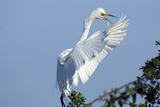 Florida  Venice  Audubon Sanctuary  Common Egret Flying and Calling