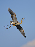 Florida  Venice  Great Blue Heron Flying Wings Wide Blue Sky