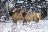 Rocky Mountains  Wyoming Elk  Cervus Elaphus  Females in Snow