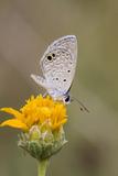Cameron County  Texas Ceraunus Blue Butterfly Nectaring on Daisy