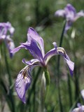 California  Sierra Nevada  Inyo Nf  an Iris Grows Out of a Meadow