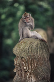 Indonesia  Bali  Ubud  Long Tailed Macaque in Monkey Forest Sanctuary